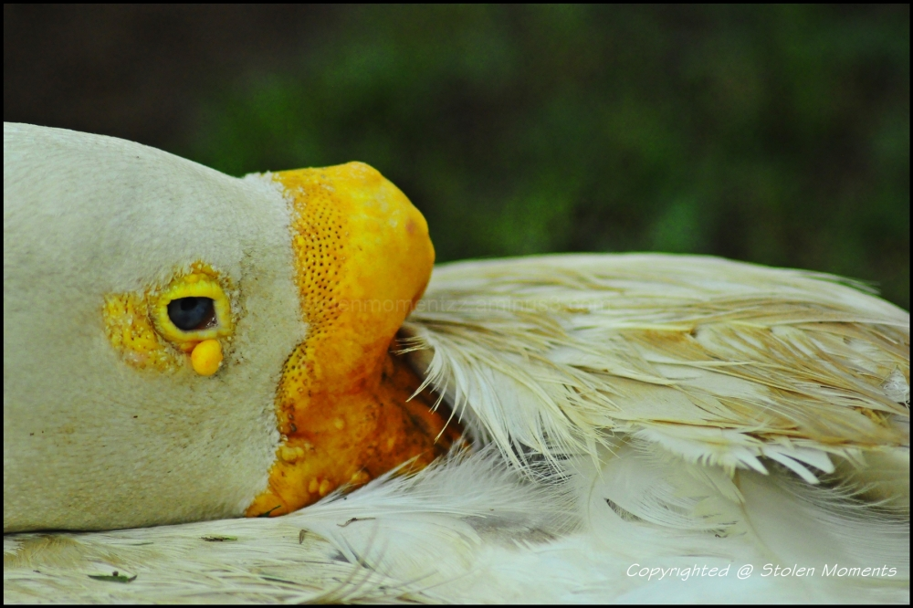 Shy Duckkie