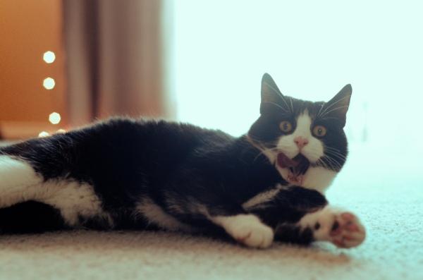a funny cat