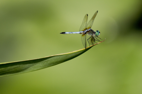 Dragonfly, Waterloo Gardens, Pennsylvania