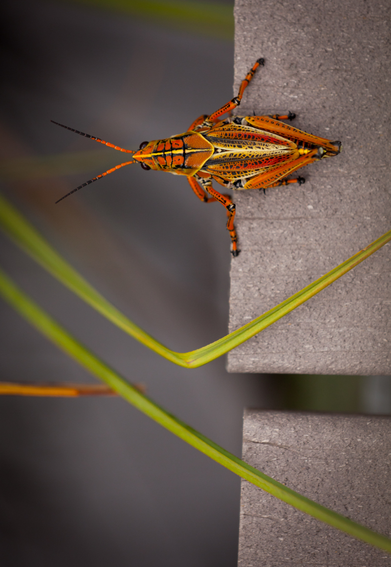Cricket in the Everglades