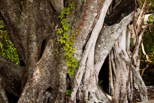 Everglades Tree