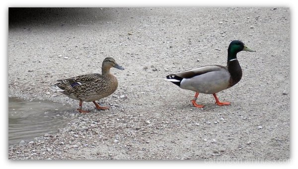 ducks promenade