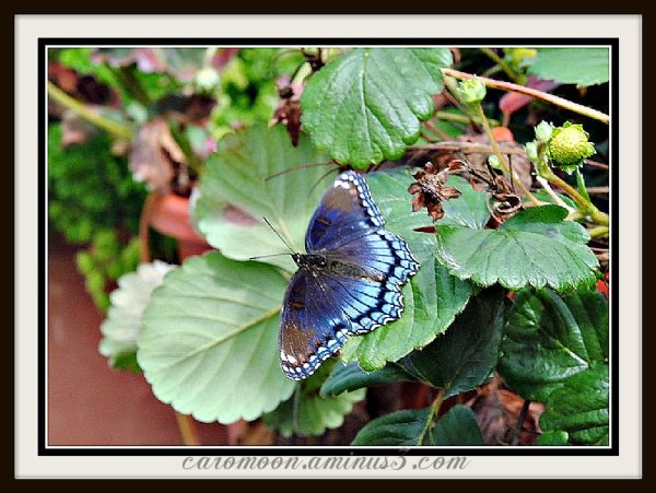 Red-Spotted Purple Butterfly - Limenitis arthemis