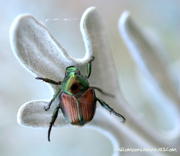 Beetle on a Dusty Miller leaf