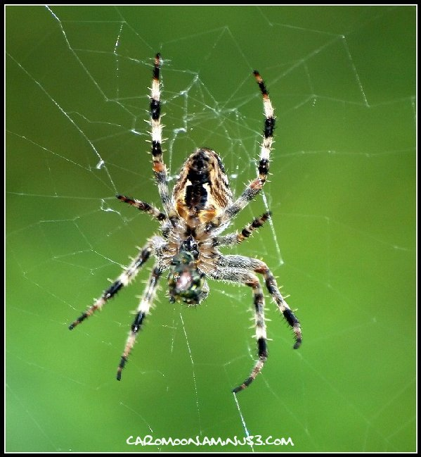 Inky Dinky Spider