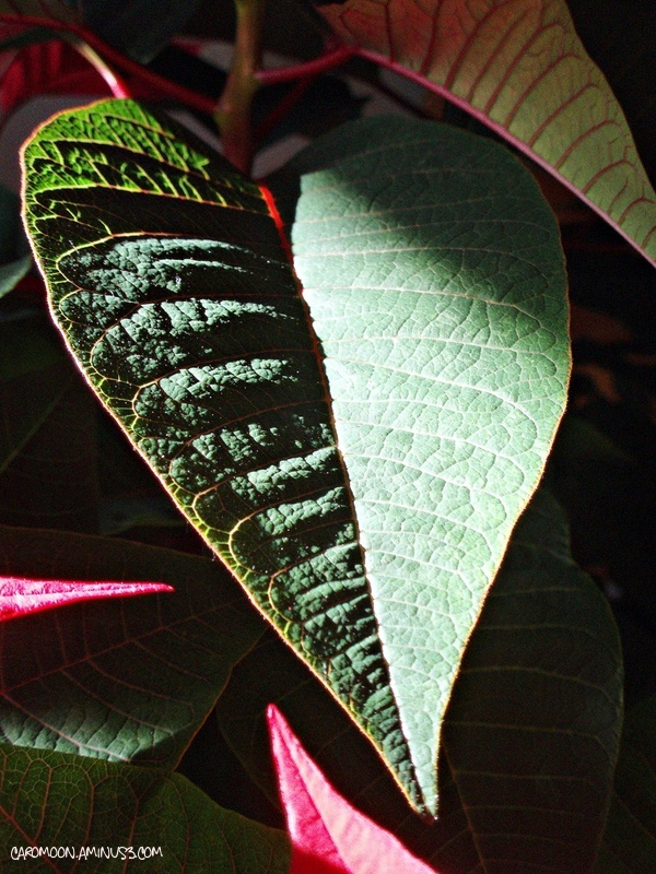 Poinsettia leaf up close