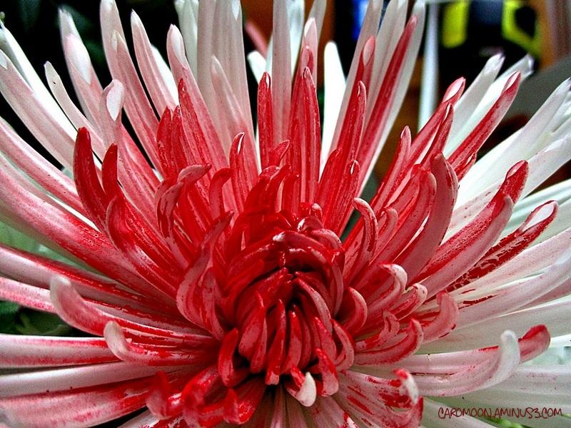 flaming petals