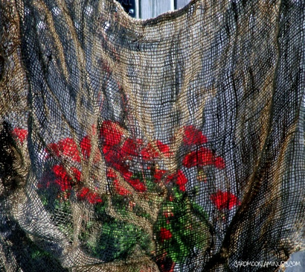 geranium - behind the burlap wall