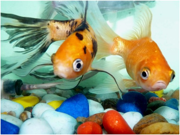 Pair of gold fish