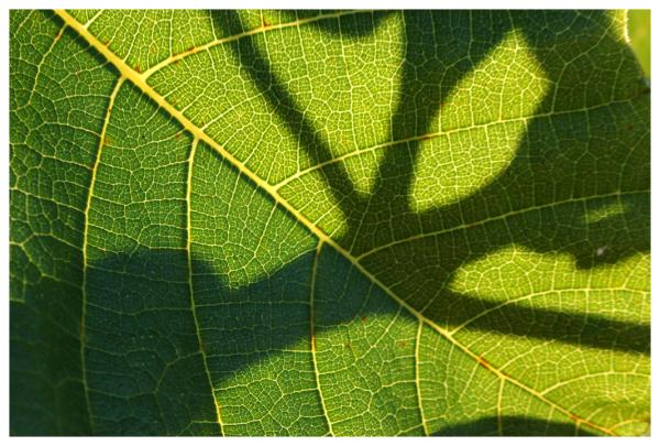 fig shadows