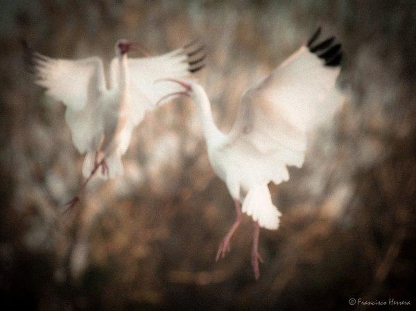 White Ibis fighting