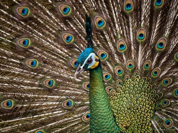 Green Peafowl / Pavo Real