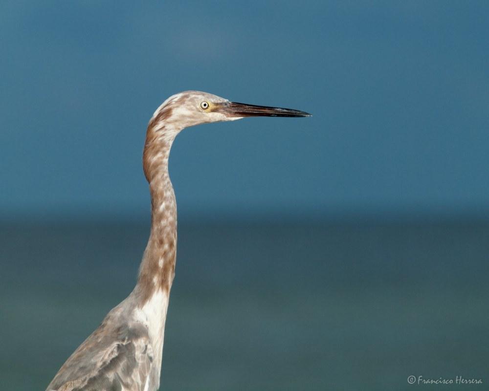 Young Reddish Egret