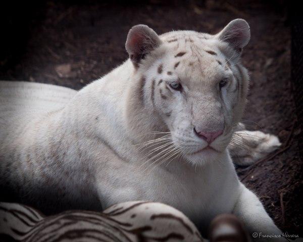 Snow White Tiger