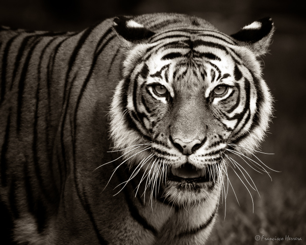 Tevy, female Malayan Tiger