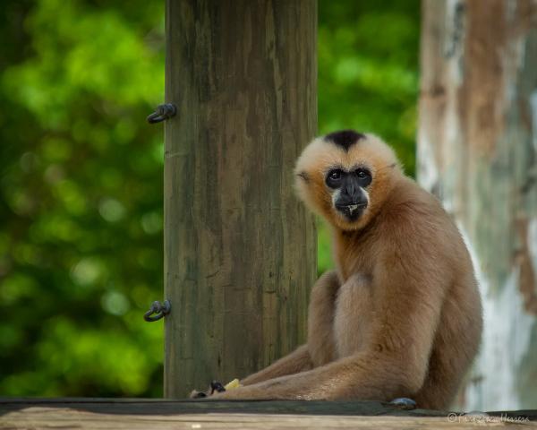 Millie - Gibbon