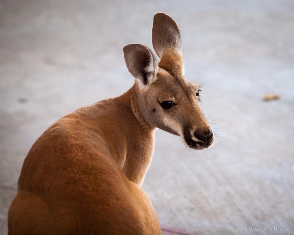 Kangaroo / Canguro