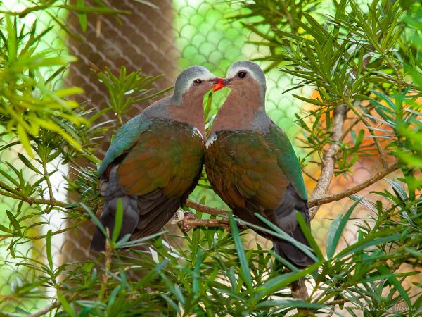 Green-winged dove or Common Emerald Dove