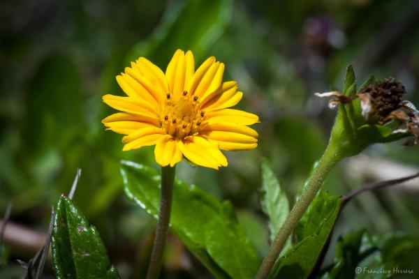 Creeping Daisy (Wedelia trilobata)