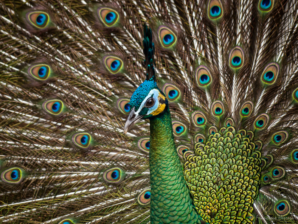 Javan Green Peafowl