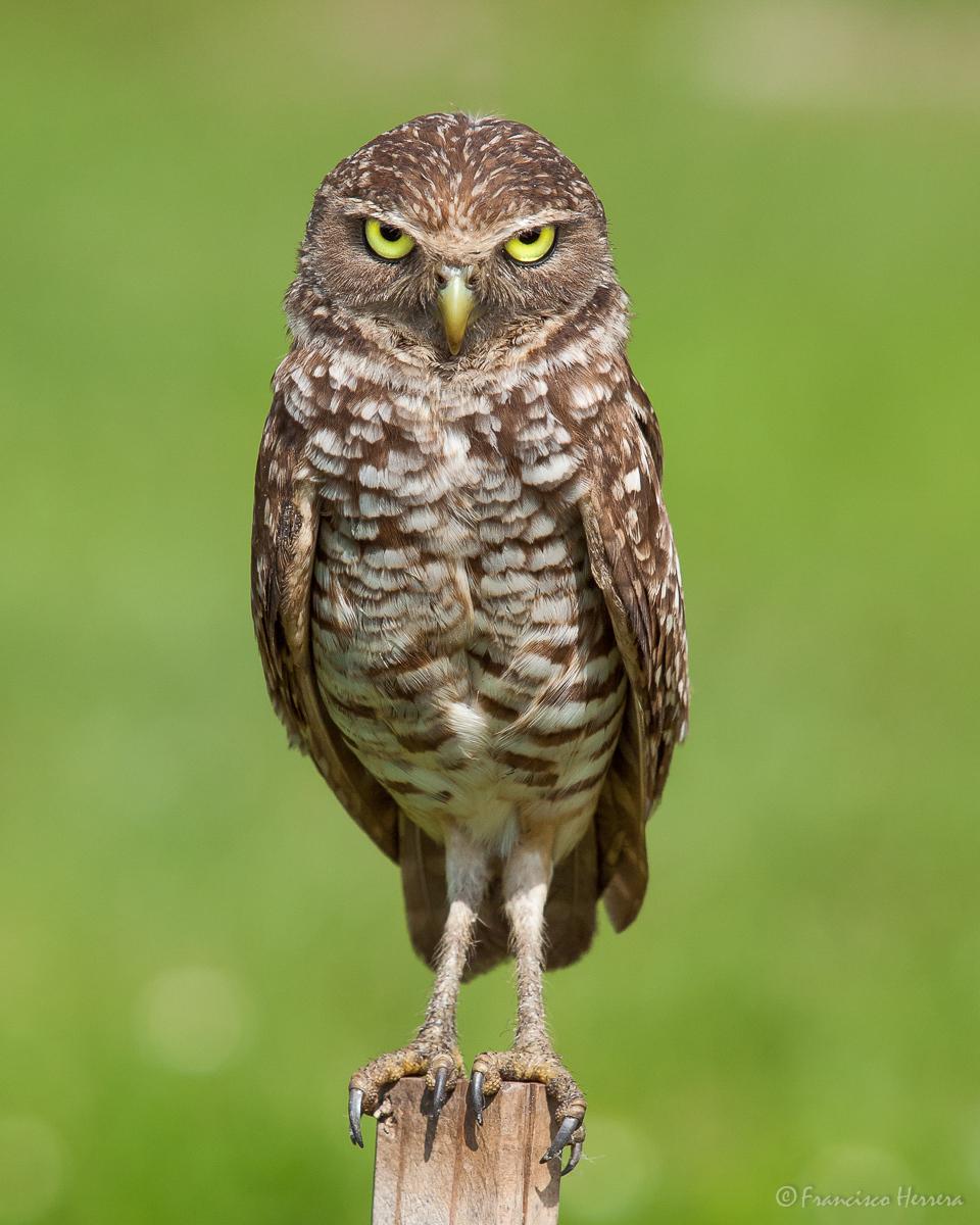 Burrowing Owl / Mochuelo de Hoyo