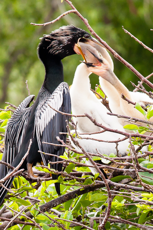 Young Anhingas Feeding