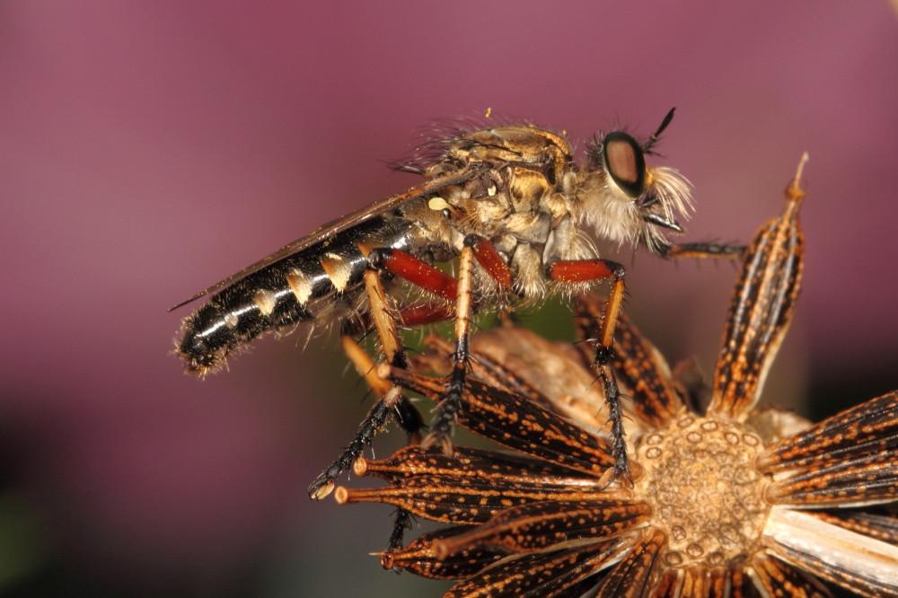 Robberfly resting