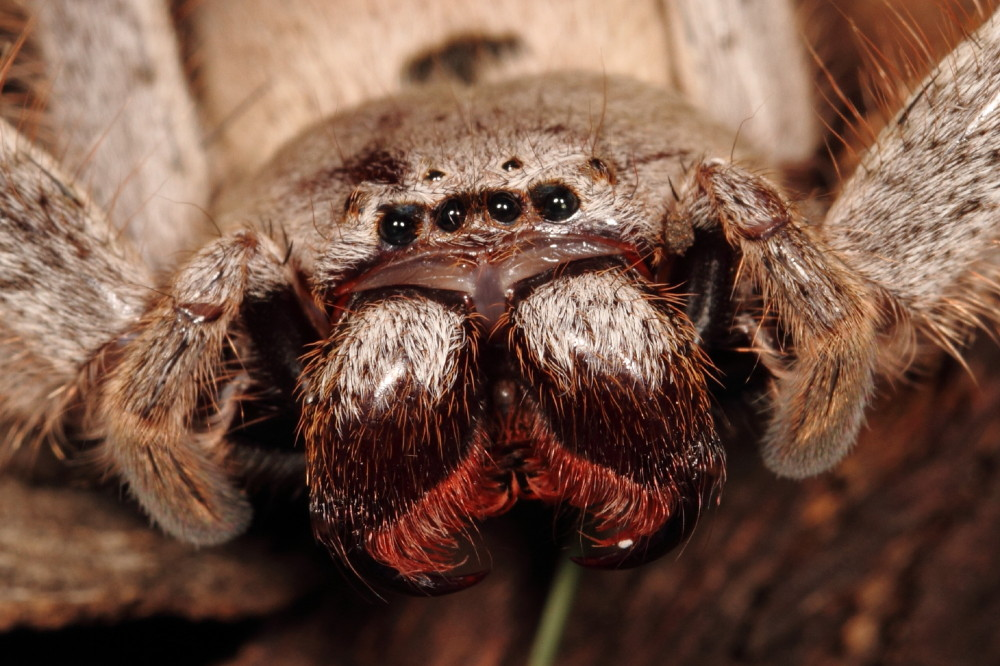 Angry huntsman spider portrait