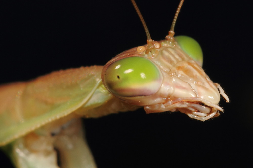 Green eyed praying mantis portrait