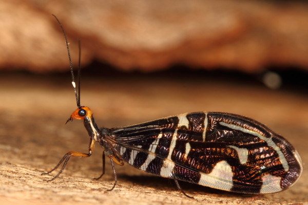 Pied lacewing