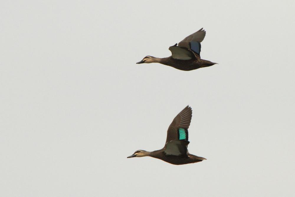 Two pacific black ducks in flight