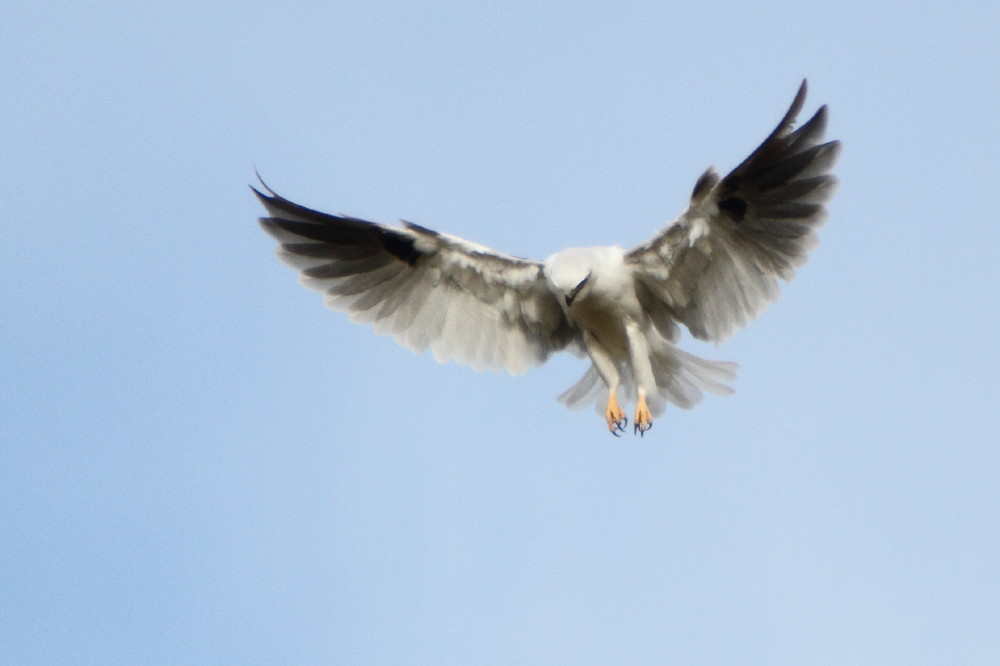 Black shouldered kite hovering