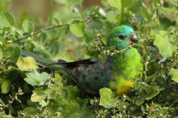 Red-rumped parrot feeding