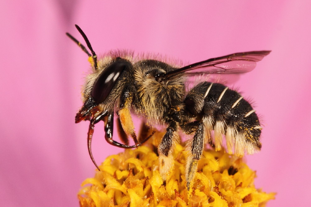 Bee cleaning its mouth parts