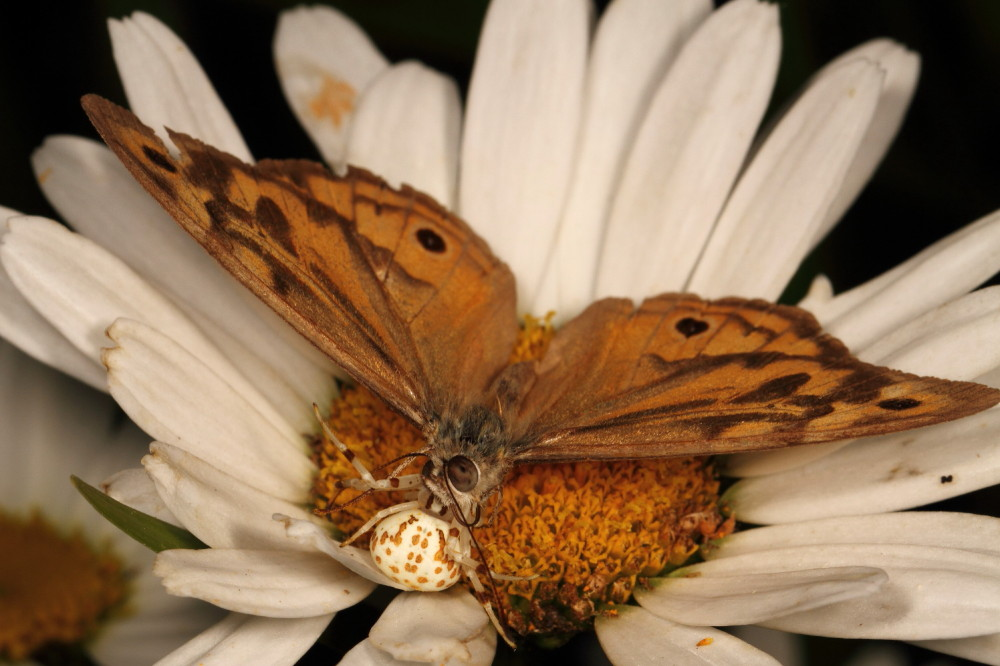 Crab spider eating a butterfly