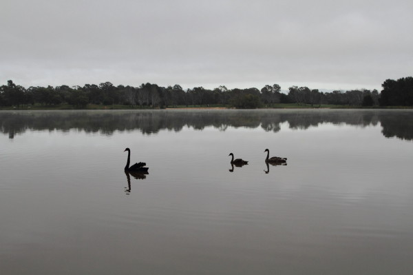 Black swan family in the early morning