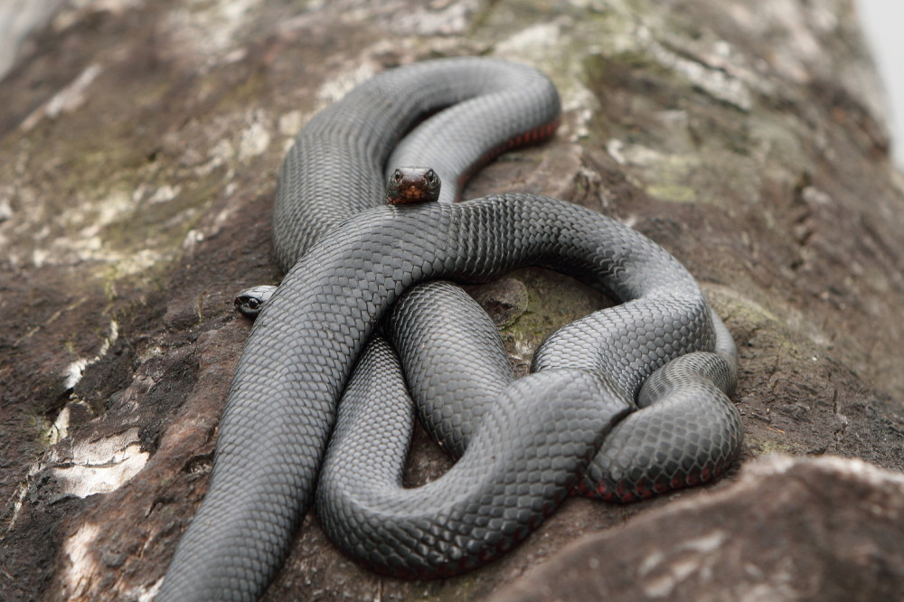 Two red bellied black snakes