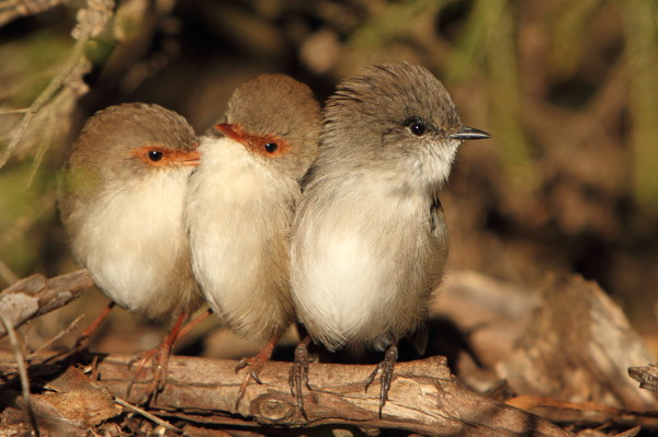 Three superb fairy wrens together