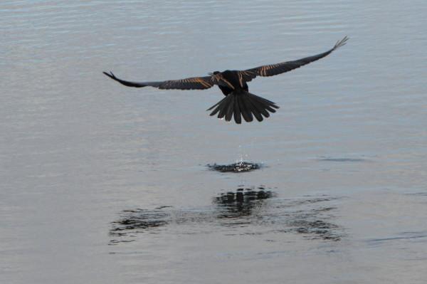 Anhinga flying away