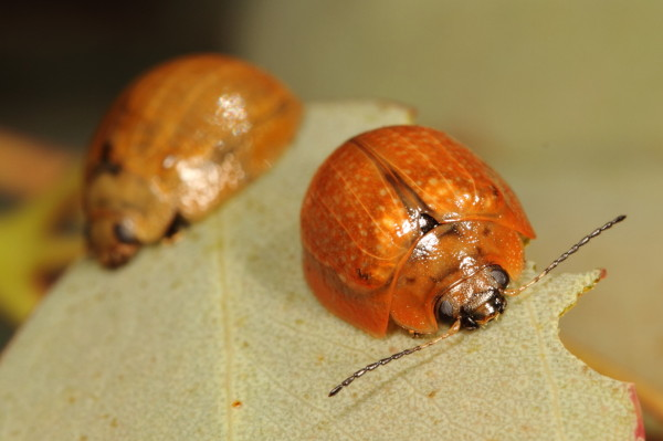 Two eucalyptus beetles