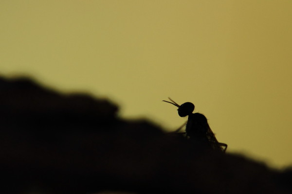 Wood gnat silhouette