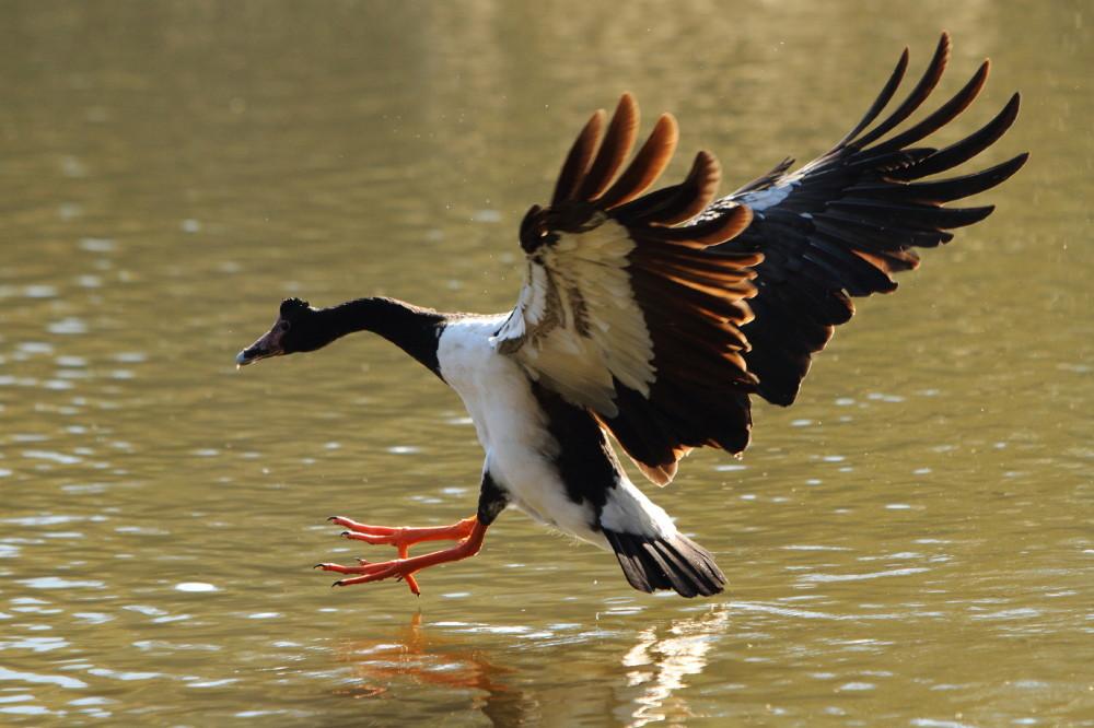 Pied goose landing