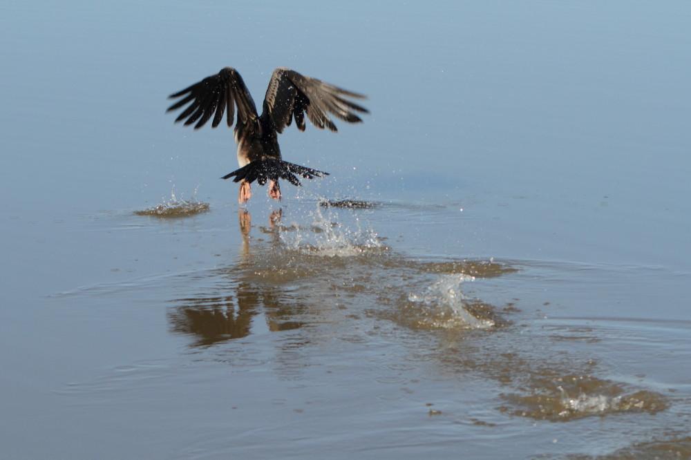 Anhinga flying away over water