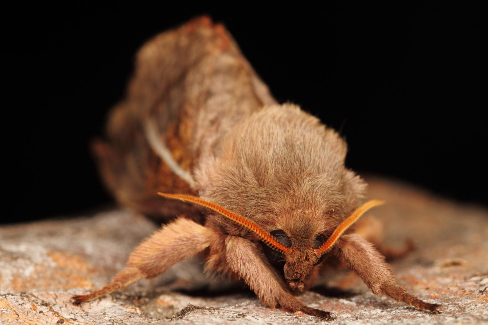 Hairy moth