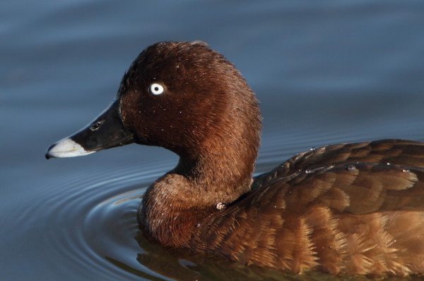 White eyed duck