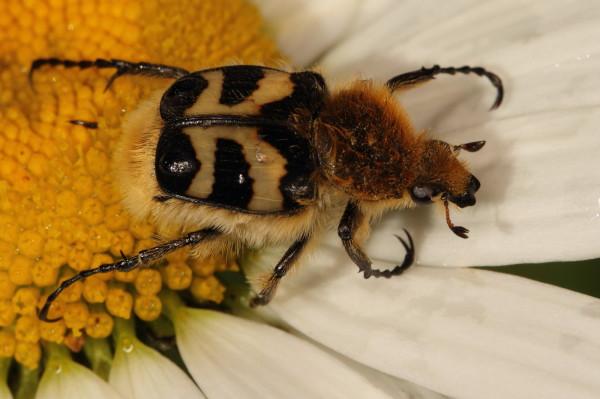 Trichius fasciatus beetle