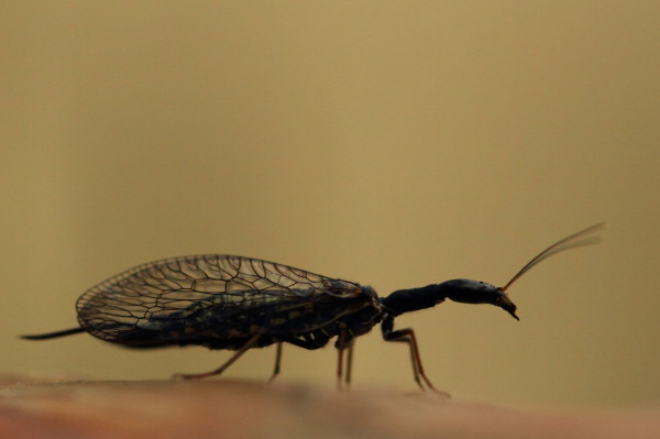 Snakefly silhouette (Raphidioptera)