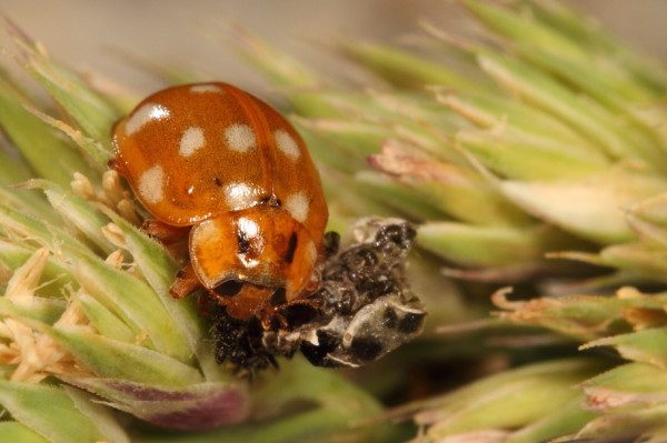 Newly hatched lady beetle