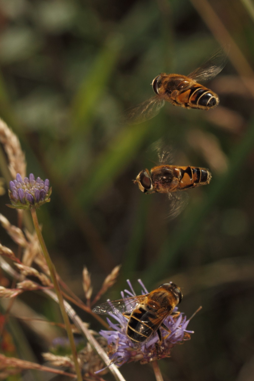 Three hoverflies
