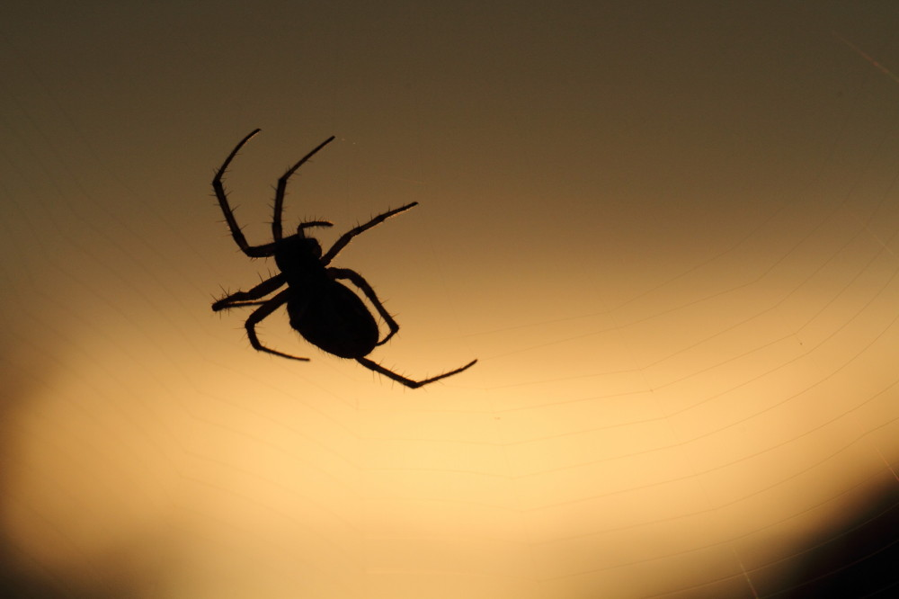 Spider at sunser